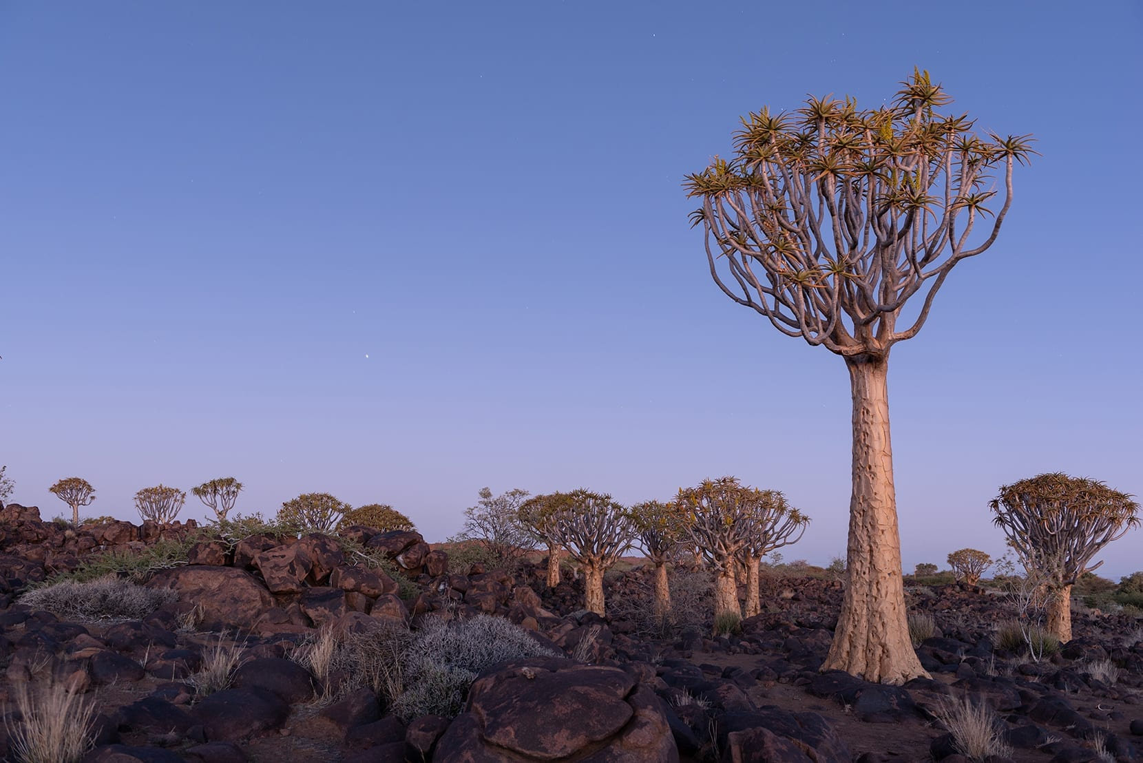 Quiver tree forest during blue hour dusk glow, Keetmanshoop, Nam