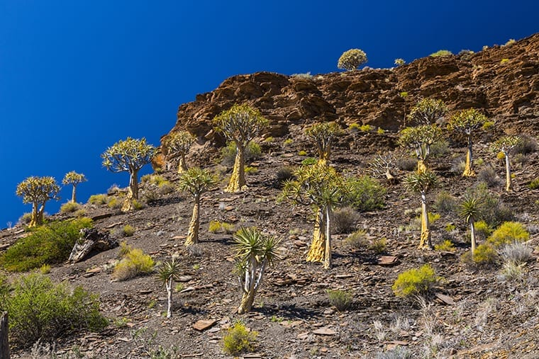 Kiver Tree - Kokerboom Forest, Nieuwoudtville, Namaqualand, Northern Cape province, South Africa, Africa