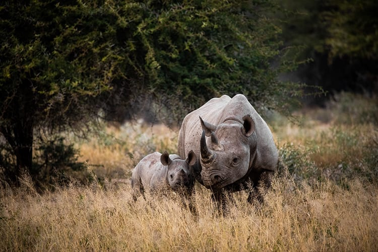 An extremely rare sighting of a black rhino with calf.