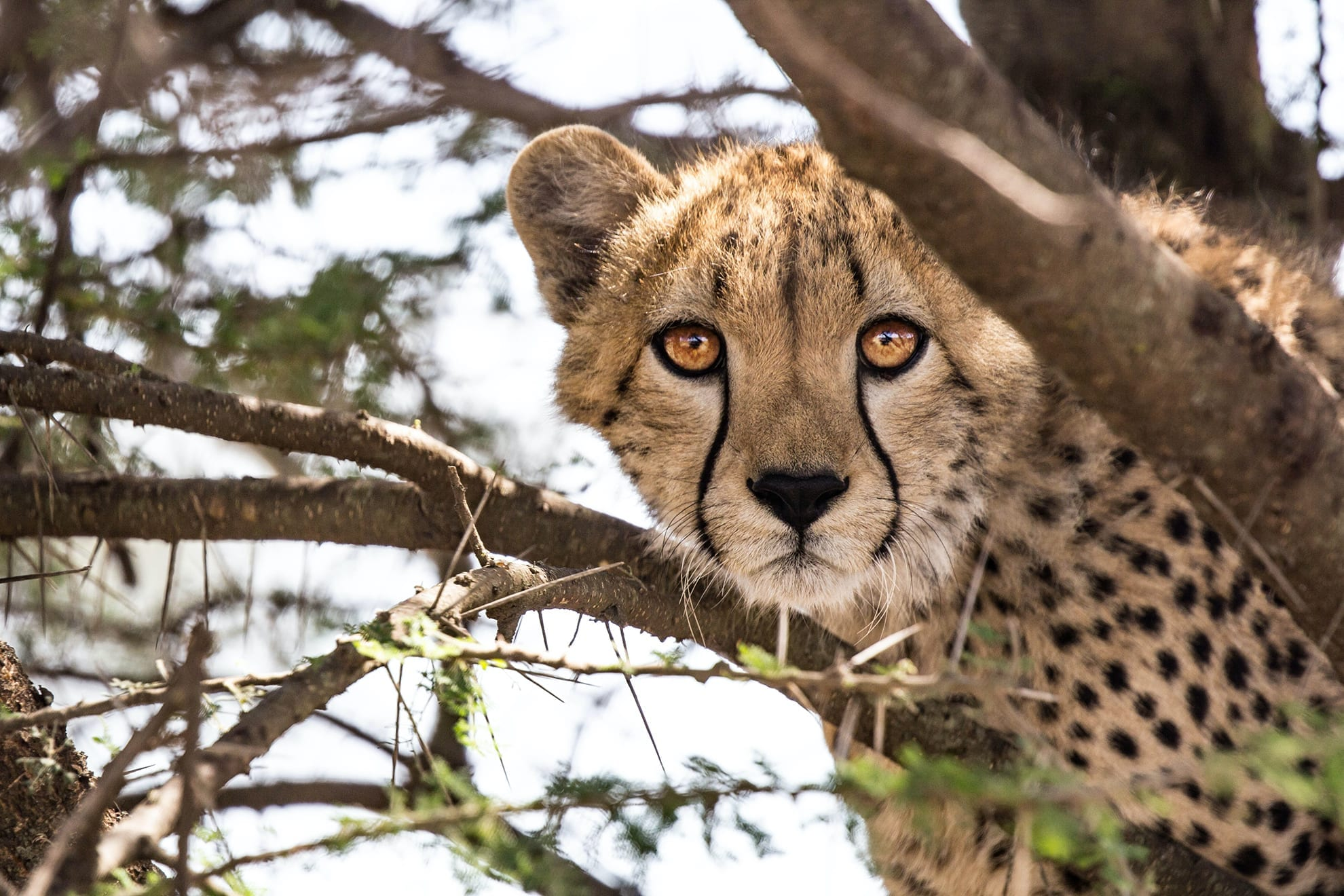 Cheetahs are scant and encounetring these are a great privilege
