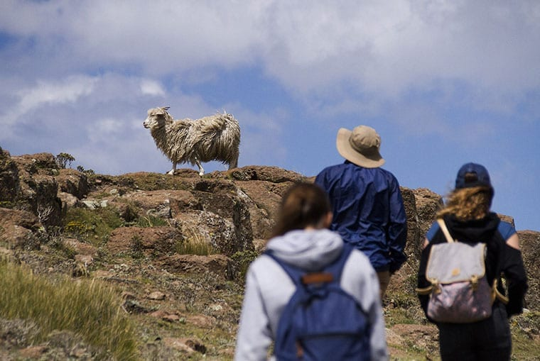 An Angora goat on a rocky outcrop with tourists approacing.