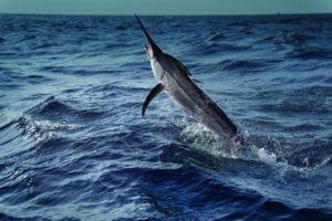 Spearfishing black marlin