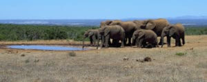 A herd of Addo elephants at a waterhole.