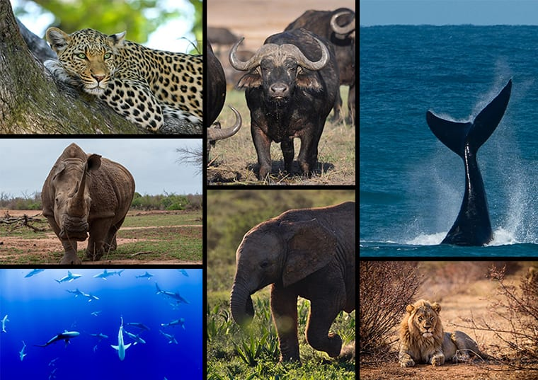 Africa's Big 7 includes lion, leopard, African, elephant, African buffalo, rhino, great white shark, and southern right whale