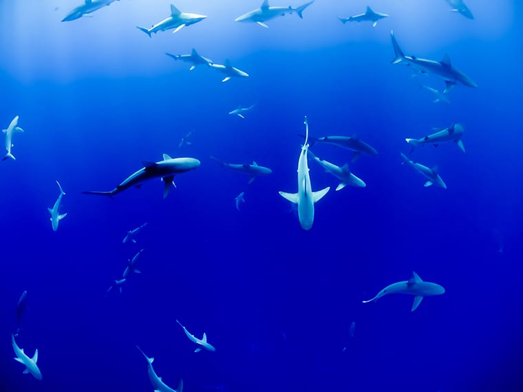 Sharks circling in the ocean.
