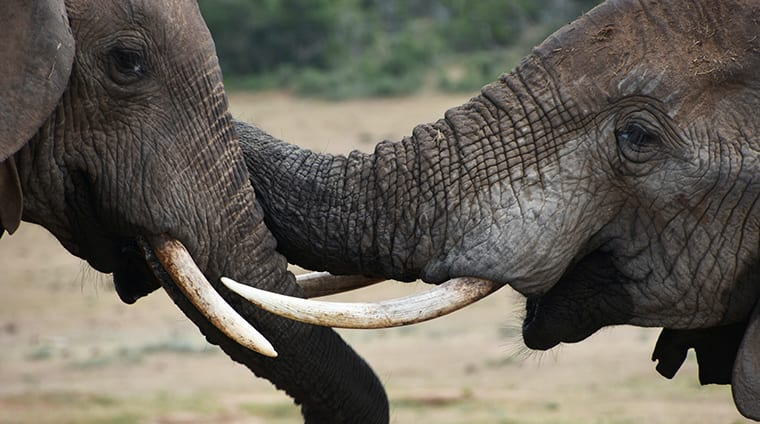 The Addo elephants are notably calmer and more relaxed than their counterparts in other parks.sm